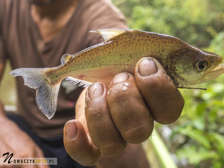 Dżungla Amazońska, łowienie piranii