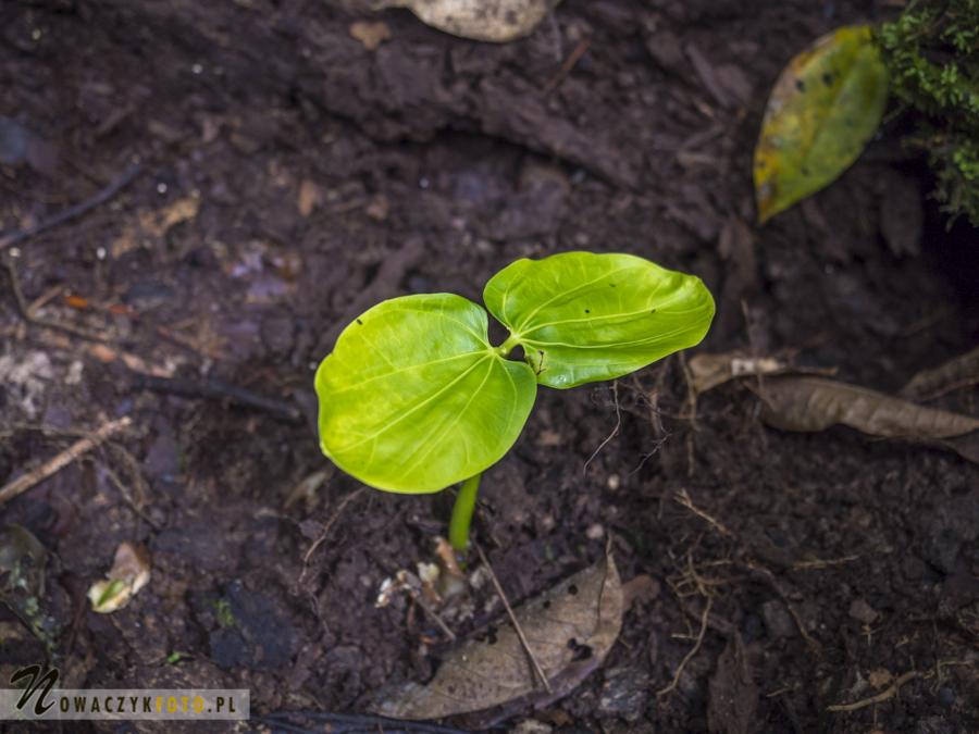 Dżungla Amazońska, rosnące drzewko
