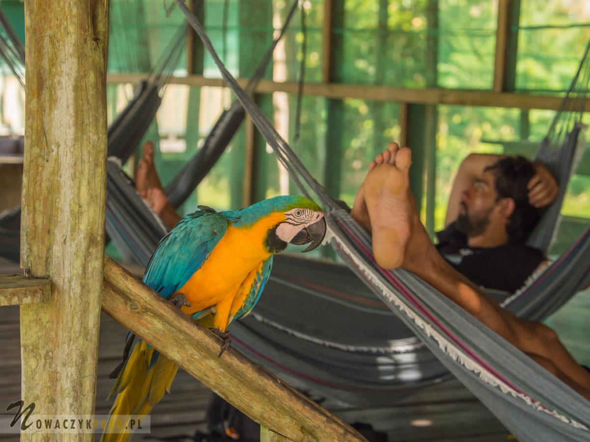 Papuga Ara siedzi przy hamaku w dżungli